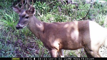 Full screed White-tailed Deer