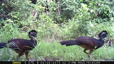 Great Curassow